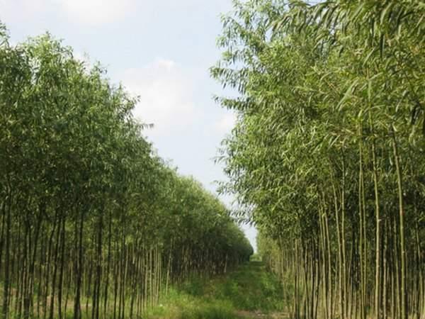 竹柳树图片竹柳树基地实拍
