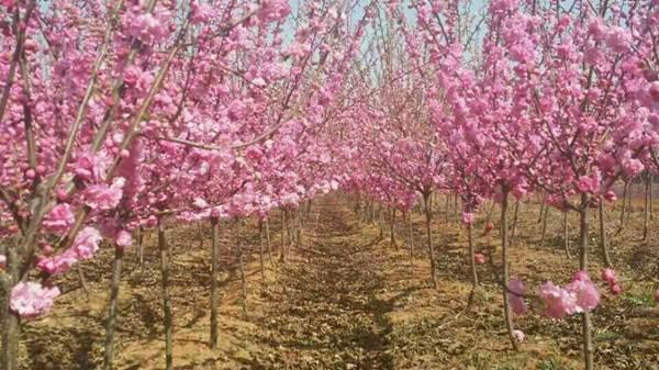 大花重瓣榆叶梅开花图片
