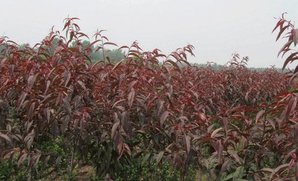 紫叶碧桃--长景园林