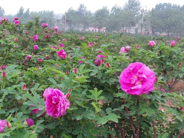 紫枝玫瑰--长景园林