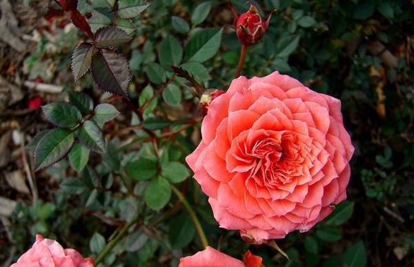钻石玫瑰图片基地实拍