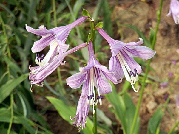 紫萼玉簪基地实拍图片