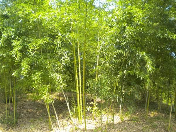 黄槽竹竹苗