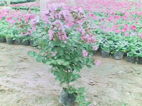 矮紫薇图片基地实拍