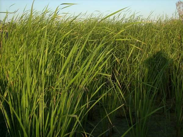 蒲草--长景园林