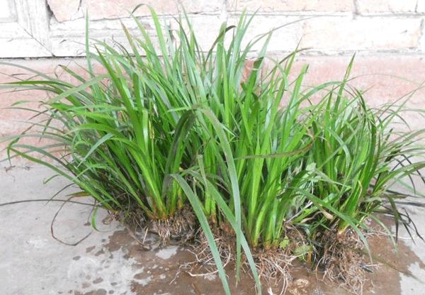 石菖蒲--长景园林