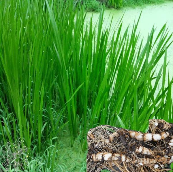 水菖蒲--长景园林