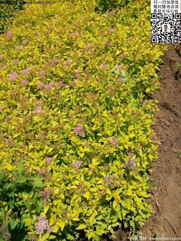 金山绣线菊图片