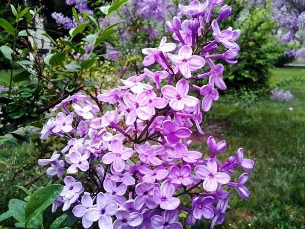 紫丁香基地实拍图片