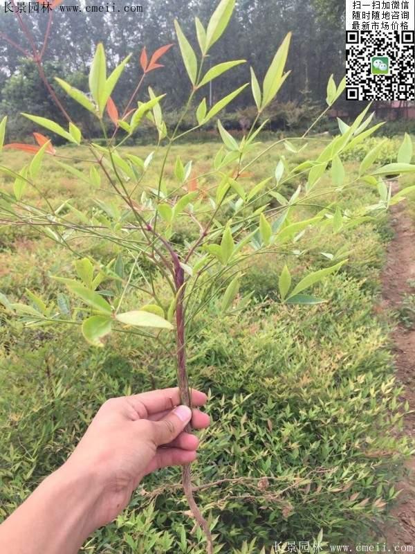 红天竹苗木图片