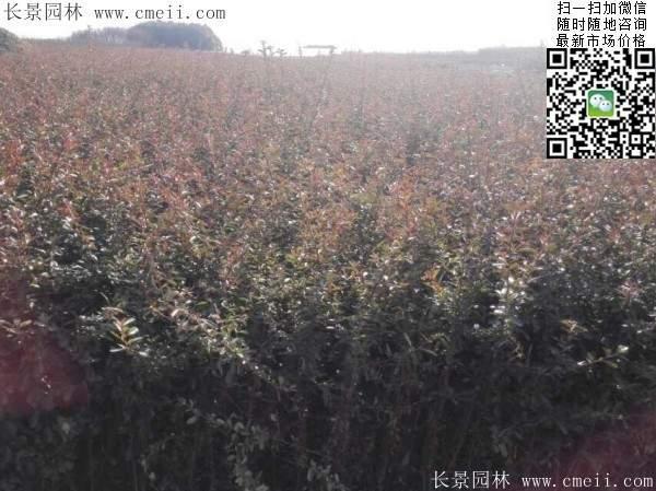 火棘球苗木图片