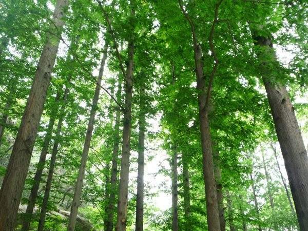 水杉树美景