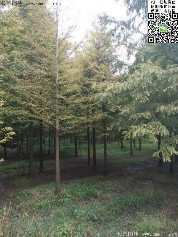 水杉基地中的水杉树