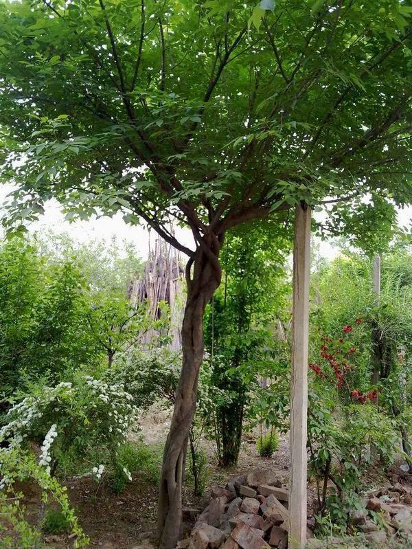 水蜡造型树