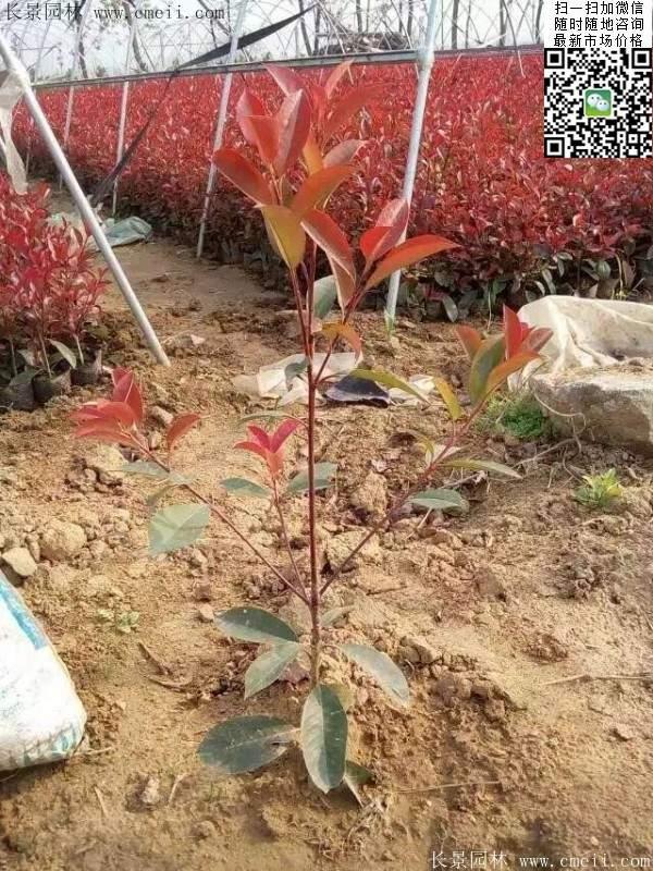 红叶石楠--长景园林