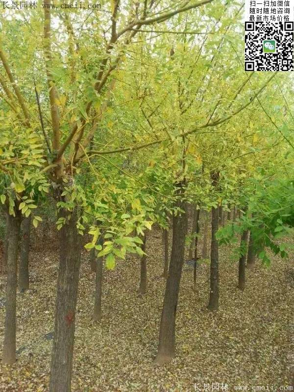 大叶子树 经济作物