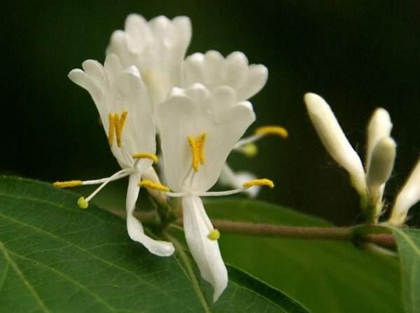 金银木的花