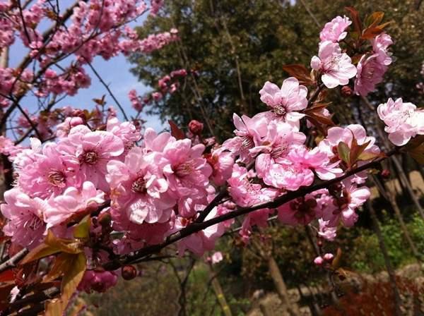 梅是观花品种,那红叶美人梅到底是属于观叶还是观花品种呢?|苗木供应-沭阳县教育绿化苗木园艺场