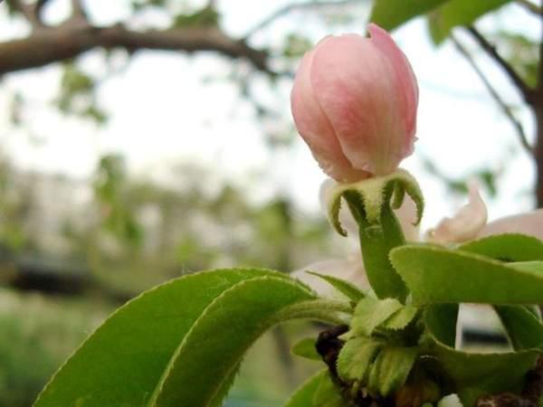 木瓜每年初春1月上旬~2月中旬这个时间段是花开的