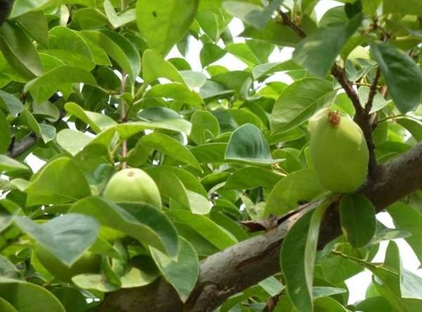 """素有""""万寿瓜""""之称的木瓜树,真的是让人垂涎三尺呢!"""
