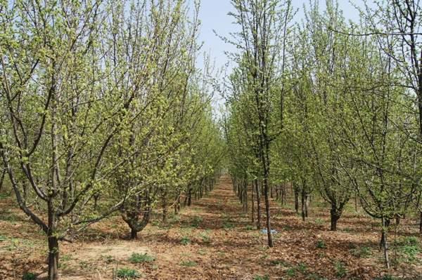 春天路边柳树图片png