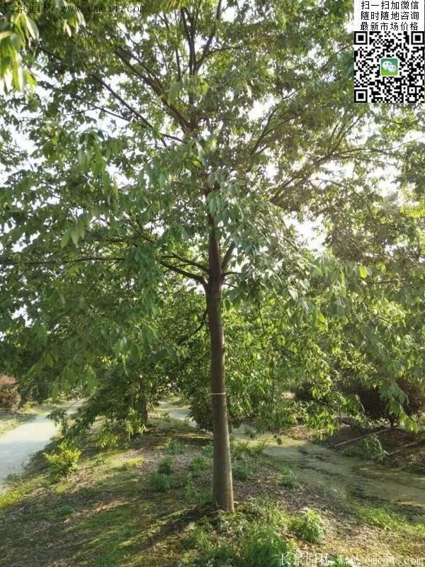 红榉基地的红榉树