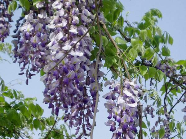 紫藤花、叶