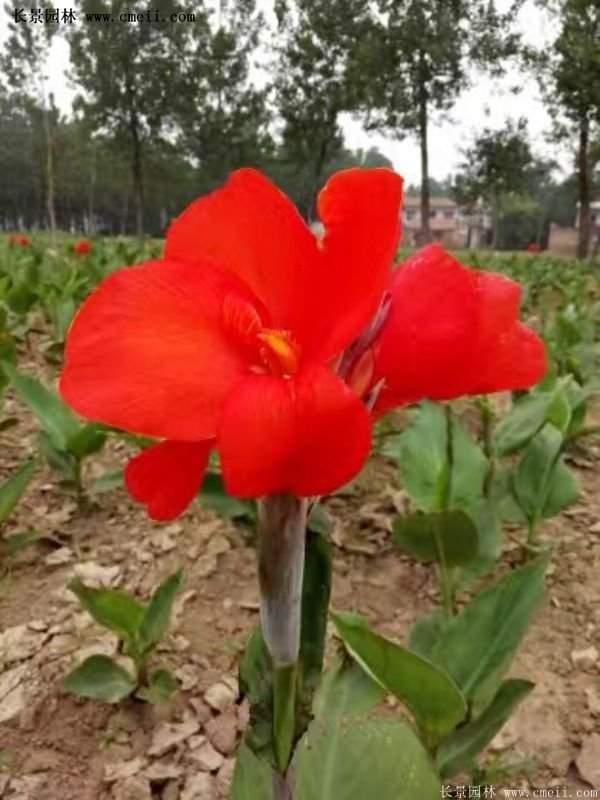 红花美人蕉基地