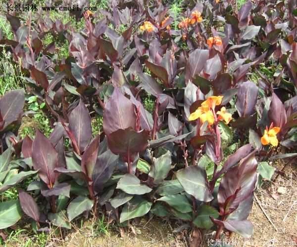 紫叶美人蕉基地