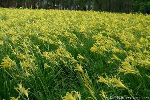 耐热耐寒,花期超长的金娃娃萱草