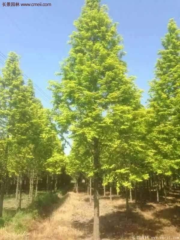 金叶水杉树