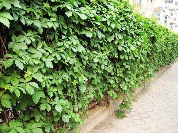 五叶地锦-长景园林