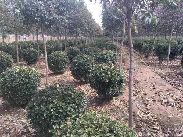 大叶黄杨球-长景园林
