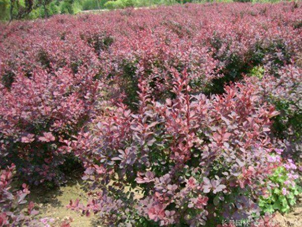 红叶小檗球-长景园林