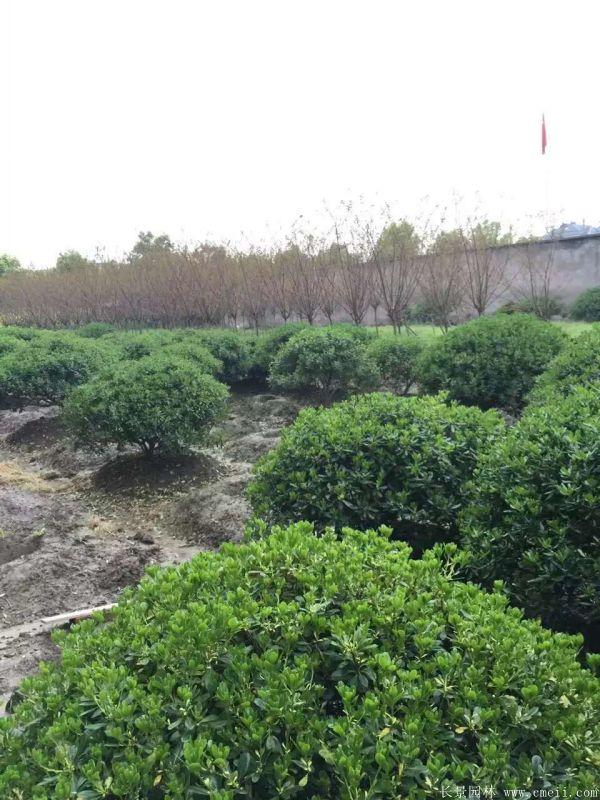海桐球-长景园林