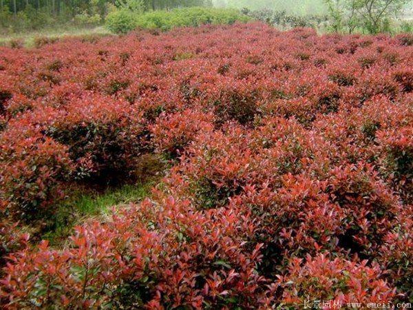 红叶石楠球-长景园林