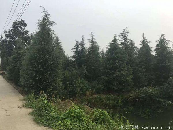 雪松-长景园林