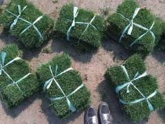 冷季型草坪高羊茅图片
