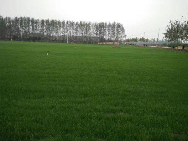 冷季型草坪黑麦草混播图片
