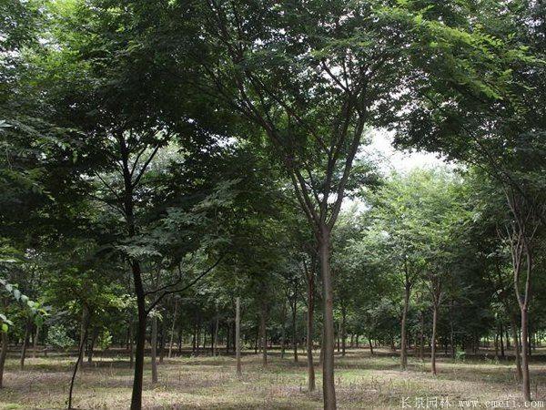 小叶榉基地小叶榉苗木图片