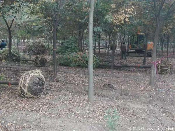 红榉基地红榉苗木图片