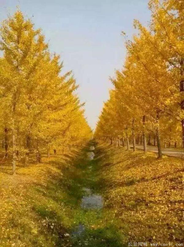 银杏树图片银杏树基地实拍