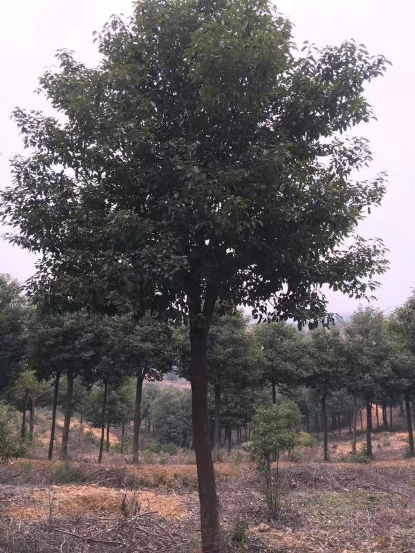 香樟树图片香樟树基地实拍