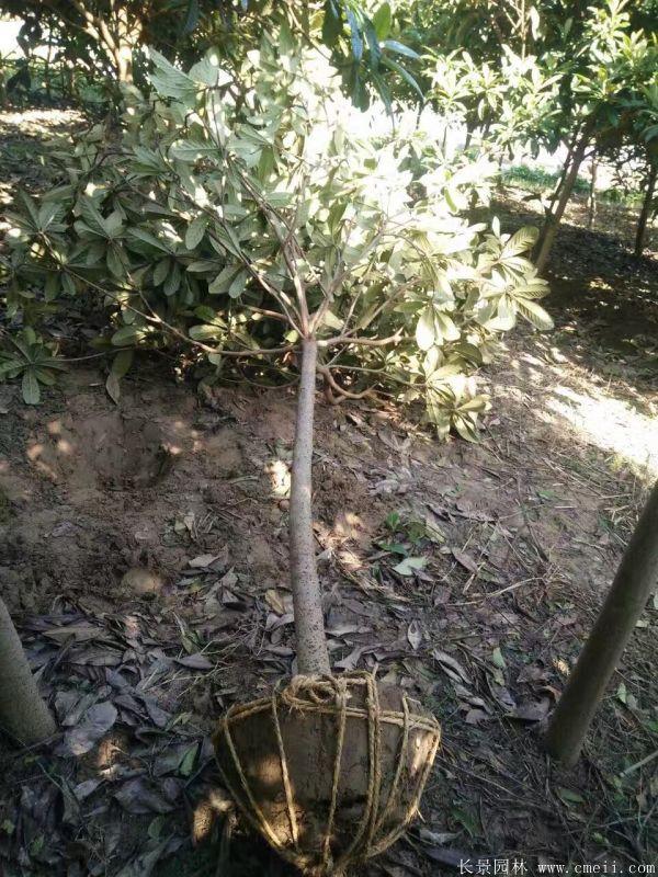 枇杷树图片枇杷树基地实拍