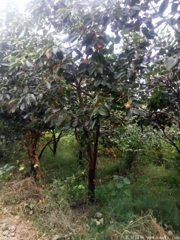 柿子树图片柿子树基地实拍