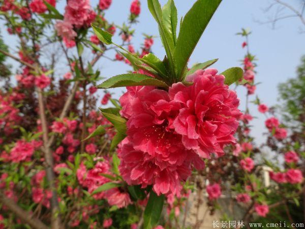 桃树图片桃树基地实拍