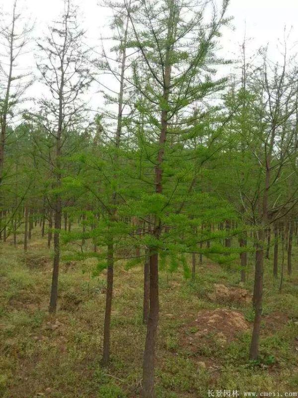 水杉树图片水杉树基地实拍