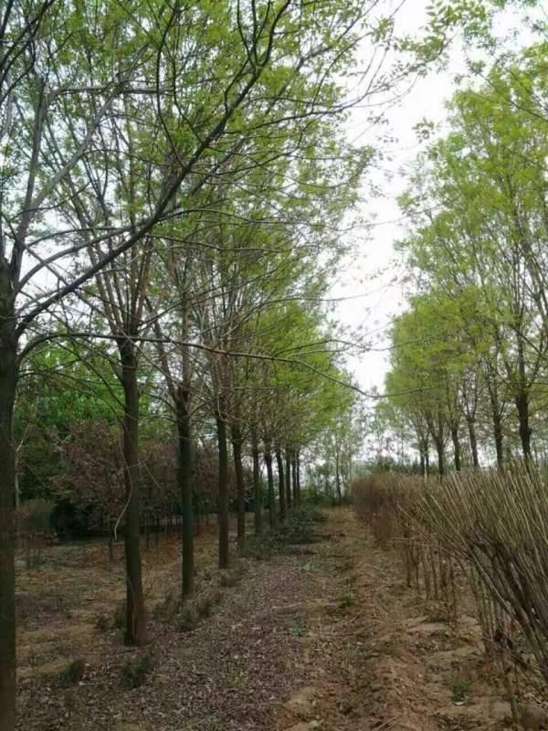 白腊树图片白蜡基地实拍