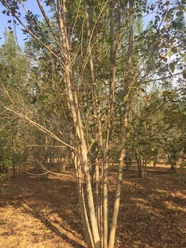 丛生白腊树图片
