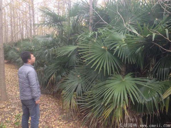 棕榈图片棕榈树基地实拍